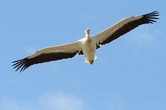 Great pelican with open wings Royalty Free Stock Images