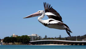 Great pelican over Forster royalty free stock photo