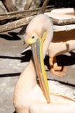 Great pelican (Pelecanus onocrotalus) portrait Stock Photo