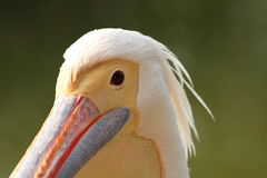 Great pelican portrait over green background Stock Photo