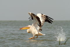 Great pelican taking off from the water Stock Image