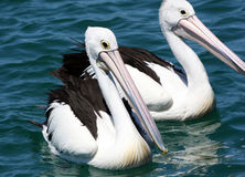 Great pelicans Royalty Free Stock Photos