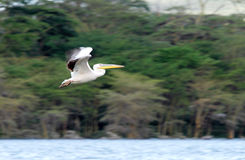 A great Pelicans with backdrop of acacia trees Royalty Free Stock Images
