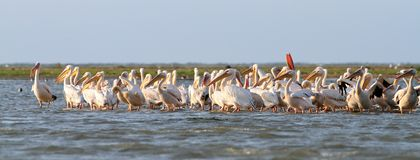 Great pelicans colony Royalty Free Stock Photos