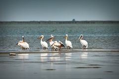 Great pelicans in Danube Delta. Flock of wild great pelicans in Danube Delta Pelecanus onocrotalus stock images