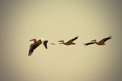 Great pelicans in flight with vintage effect Stock Images