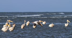 Great pelicans standing in shallow water Royalty Free Stock Photography