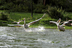 Great Pelicans takeoff from water with splash Royalty Free Stock Photos