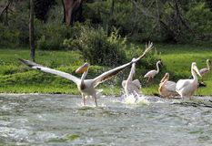 Great Pelicans takeoff from water Stock Image
