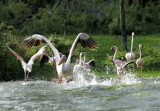 Great Pelicans taking flight with splash of water Stock Photography