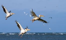 Great pelicans taking off from sea surface Royalty Free Stock Photos