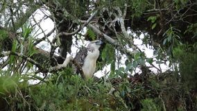 Great Philippine eagle nesting stock video footage