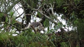 Great Philippine eagle nesting stock footage