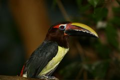 Great Pied Hornbill. At the zoo Stock Photography