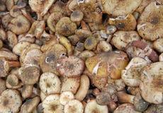Great piles of freshly picked mushrooms Royalty Free Stock Photo