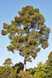 Great pine tree over a blue sky. Nature background Stock Photos