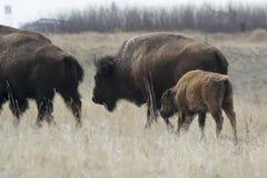 Great Plains的水牛城 库存图片