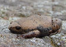 Great Plains Narrowmouth Toad Stock Photos