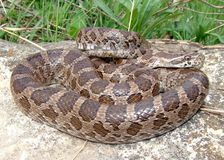 Great Plains Rat Snake, Pantherophis emoryi Royalty Free Stock Photography