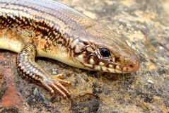 Great Plains Skink, Plestiodon obsoleta (Eumeces) Royalty Free Stock Images