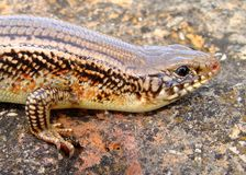 Great Plains Skink, Plestiodon obsoleta (Eumeces) Stock Photo