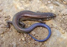 Great Plains Skink, Plestiodon obsoleta (Eumeces) Stock Photos