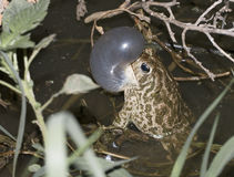 Great Plains toad Stock Photography