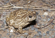 Great Plains toad. (Anaxyrus cognatus) sitting on gravel Stock Photography