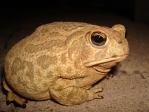 Great Plains Toad Stock Images