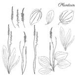 Great plantain, Plantago major medicinal plant wild field flower isolated on white backdrop, hand drawn vector doodle. Ink sketch illustration for design Royalty Free Stock Photos