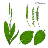 Great plantain, Plantago major medicinal plant wild field flower isolated on white background, hand drawn vector doodle. Colorful illustration for design Stock Photo
