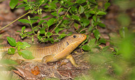 Great Plated Lizard on forest ground. A Great Plated Lizard - Gerrhosaurus major - moves in the cover of the leaf litter of the Arabuko Sokoke Forest, the last Royalty Free Stock Photography