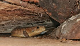 Great Plated Lizard. (Gerrhosaurus major)  hiding under a heap of logs Royalty Free Stock Image