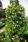 Great plenty of fruits on dwarfish pear tree Royalty Free Stock Image