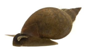 Great pond snail, Lymnaea stagnalis Stock Photo