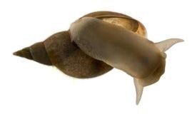 Great pond snail, Lymnaea stagnalis Stock Photos