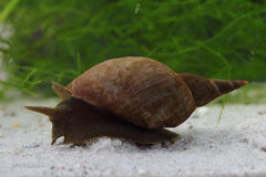 Great pond snail (Lymnaea stagnalis) Royalty Free Stock Photography
