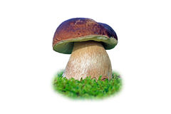 Great porcini mushroom. This King Polete looks good and tastes good Royalty Free Stock Photography