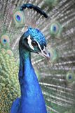 Gorgeous colorful peacock portrait in Zoo stock photos