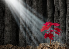 Great Potential. Business metaphor with an old dark forest of tall trees and a young red leaf sapling emerging out of the ground as a symbol of future growth Stock Photos