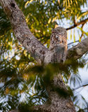 Great Potoo Stock Photography