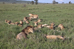 Great pride of lions lying in the grass Stock Photography