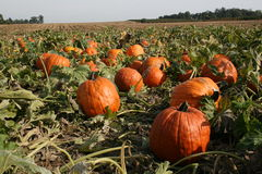 Great pumpkin Stock Photos