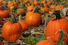 The great pumpkin patch Royalty Free Stock Photo