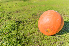 Great pumpkin. Resting in the meadow of green grass Royalty Free Stock Images
