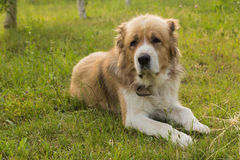 Great purebred dog lying on the lawn Stock Images