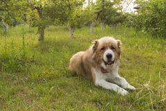 Great purebred dog lying on the lawn Stock Photos
