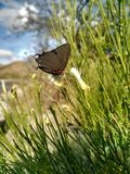 Great Purple Hairstreak Butterfly in Sabino Canyon. November 2017 Royalty Free Stock Image