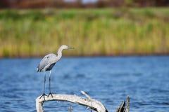 Great Purple Heron South Carolina royalty free stock photography