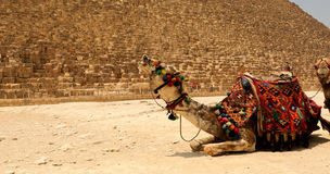 The Great pyramid with camel Royalty Free Stock Images